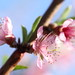 Soft Focus Peach Blossoms by interchangeableparts