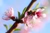 Soft Focus Peach Blossoms