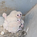 Small photo of Barn Owl babies, Tyto alba. 18 days old