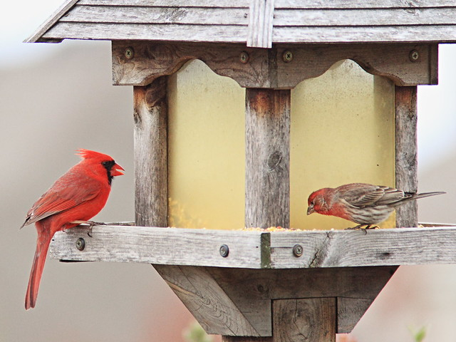 Northern Cardinal and House Finch 20150422
