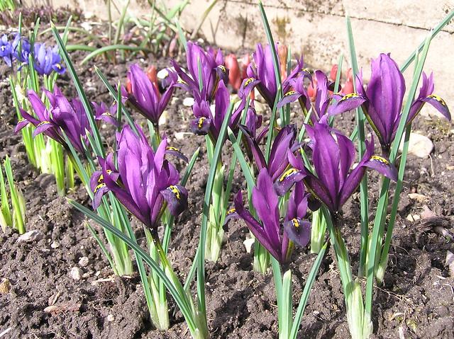Iris reticulata 'J.S. Dijt'