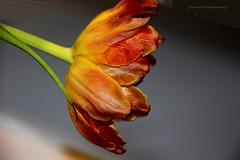 Tulips in different colours-Arboretum Kalmthout, Belgium