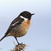 Stonechat with new Toys by roychurchill