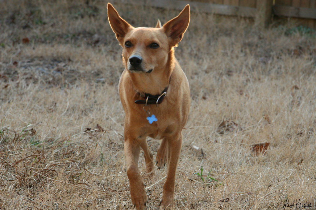 jack dog adult in north carolina usa terrier jack russel basenji mix mutt stray rescued full grown smooth coat brown golden tan color short haired straight ears beautiful gorgeous walking yard outdoor garden