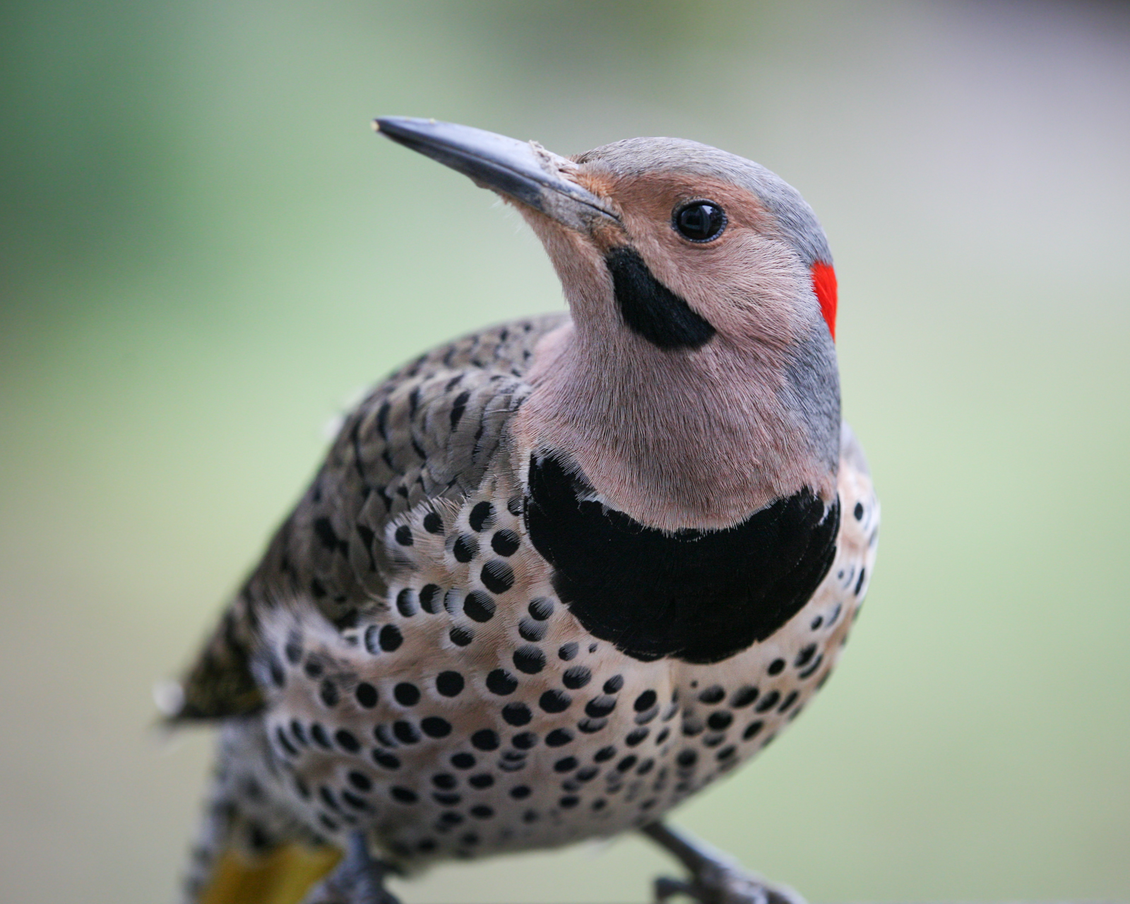 Northern Flicker [1600x1280]