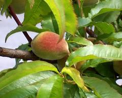 Turkey (Istanbul) Fresh peach