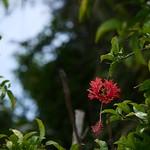 フウリンブッソウゲ(ハイビスカス) 東南植物楽園
