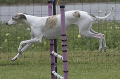 borzoi(0.0), dog sports(1.0), animal sports(1.0), animal(1.0), hound(1.0), magyar agã¡r(1.0), dog(1.0), polish greyhound(1.0), whippet(1.0), galgo espaã±ol(1.0), saluki(1.0), sloughi(1.0), sports(1.0), pet(1.0), mammal(1.0), italian greyhound(1.0), greyhound(1.0),