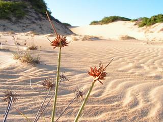 Restinga, vegetação nas dunas