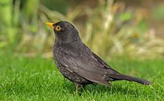 robin(0.0), animal(1.0), fauna(1.0), acridotheres(1.0), beak(1.0), blackbird(1.0), bird(1.0), wildlife(1.0),