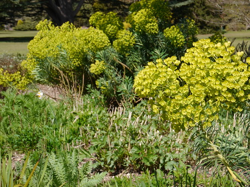 2015-04-23 Euphorbia in the Herbaceous Borders (23) © Dave Marsh