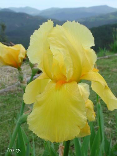 Iris 'Zantha'