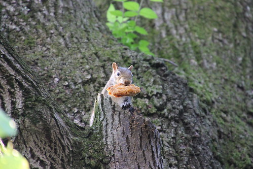 Squirrel Enjoying Fried Chicken at Vanderbilt University (Nashville, Tennessee) - April 23, 2015