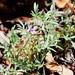 Small photo of Allophyllum glutinosum