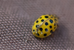 Tiny yellow beetle