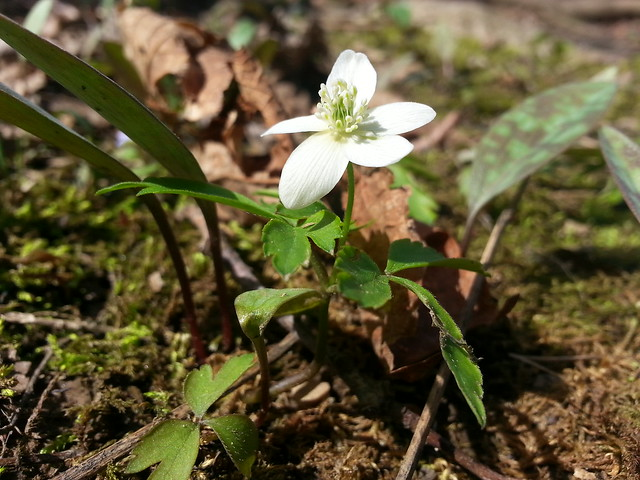 windflower, anemone canadensis
