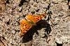 Butterfly-Comma (Polygonia comma) 1