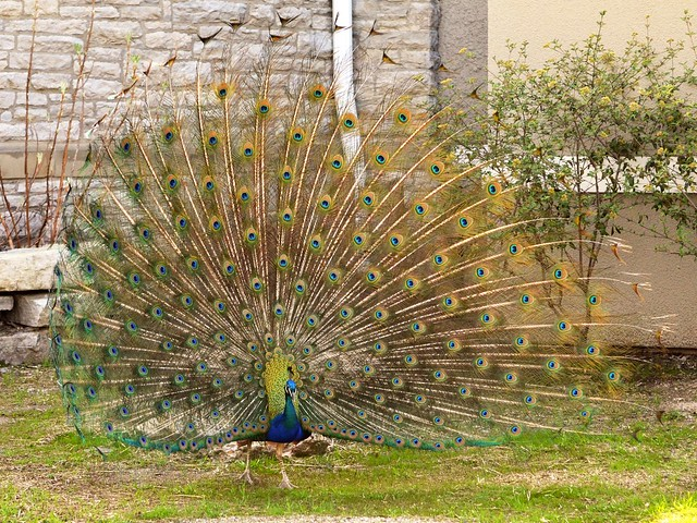 Peacock Unfurled