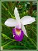 Arundina graminifolia [syn: A. bambusifolia, A. chinensis] (Bamboo Orchid, Bird Orchid, Grass-like Leaf Arundina, Kinta Weed)