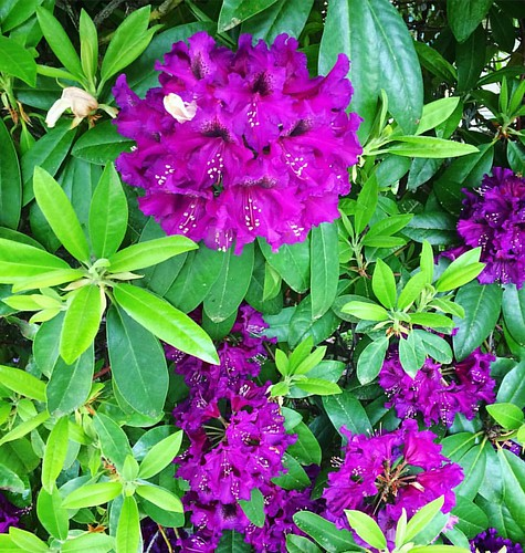 Grandma's purple rhody's are gorg. 💜💜💜