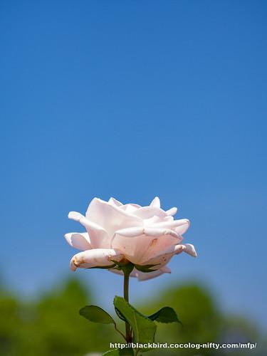 Rose & Blue sky #03