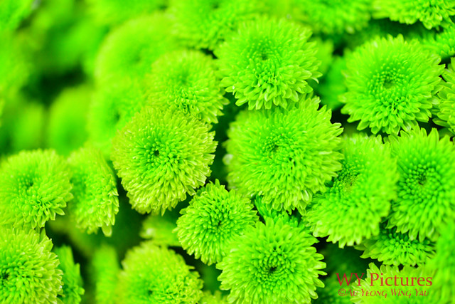 Tiny Green Chrysanthemums