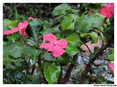 Sikkim Darjeeling Tour 2014 - Flower with rain dro…