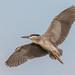 Black-crowned Night Heron by Andy Morffew