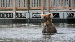 Niedźwiedź Grizzli przy pomoście