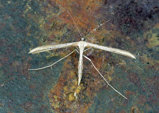 45.044 Emmelina monodactyla