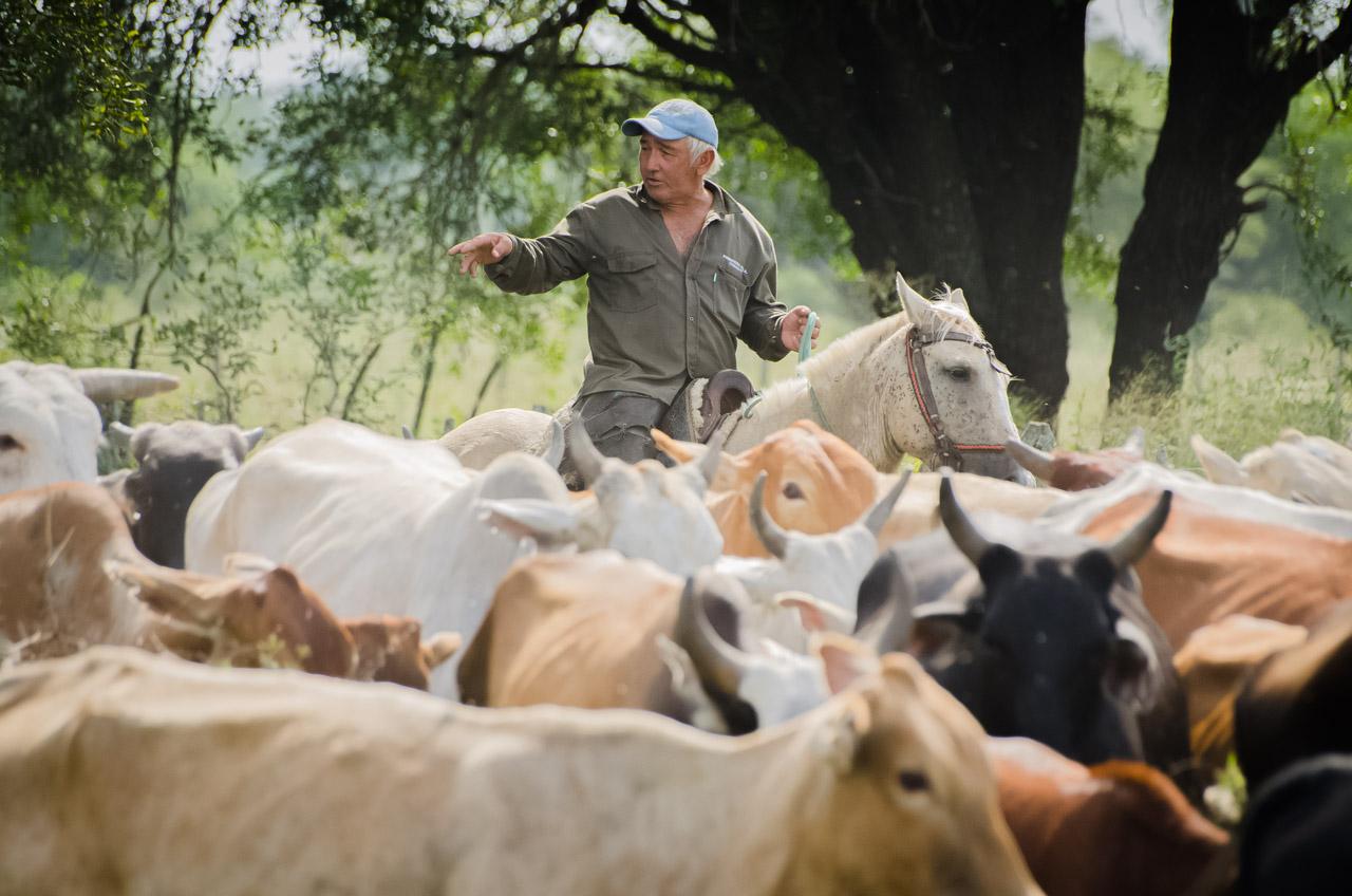 Un vaquero dirige el procedimiento para arrear las vacas desde la zona de pastura ubicada a 5 kilómetros de la estancia aproximadamente y lo llevan al corral, donde reúnen a las mismas para el censo y las vacunaciones correspondientes al control de aftosa, antiparasitarios y vitaminas que el ganado necesita. (Elton Núñez).