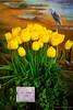 Skagit Valley Tulip Festival 2015 - Tulip Town