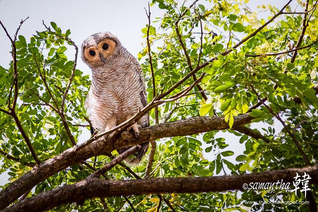 Spotted Wood Owl (Strix seloputo seloputo).