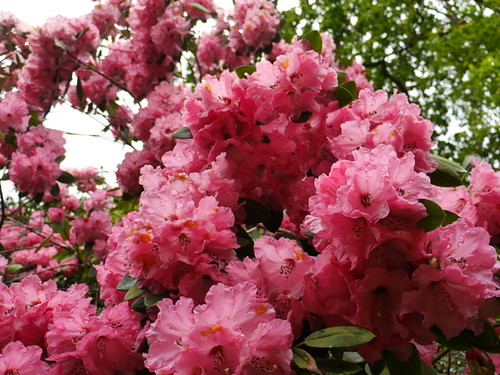 Rhododendrons (26) © Dave Marsh