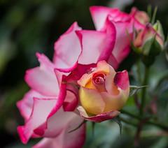 Portland Rose.