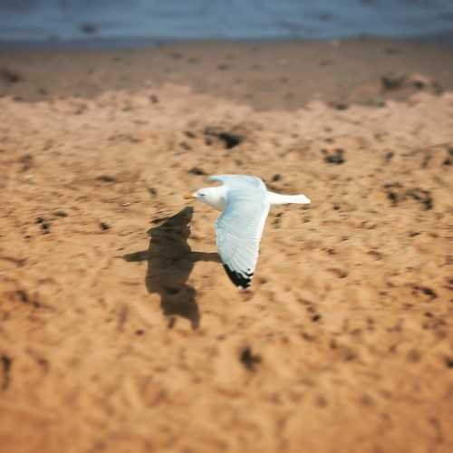 On a low level beach run mission #bird #seagull #beach