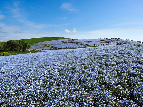 Hitachi Seaside Park : Japan_04