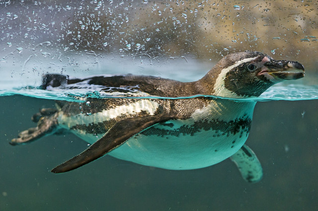 Penguin swimming at the window