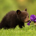 Canon 200-400 L IS Captures Black Bear Cub and an Iris by Bryan Carnathan