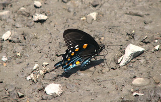 Battus philenor (pipevine swallowtail butterfly) (Mercer County, West Virginia, USA) 2
