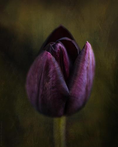Black tulip // 27 04 15