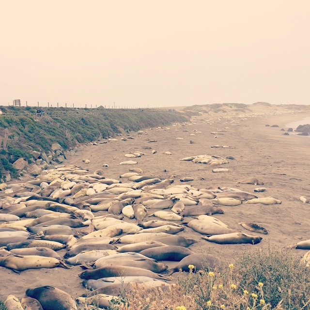 Checking out the elephant seals! They're on vacation too. #sansimeon #familyvacation