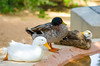 Domestic Ducks. Al Ain Zoo. April 11, 2015. 3pm.