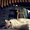 #vibraphone playing #cat #Musser