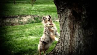 """Australian Shepherd"""