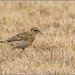 Small photo of Skylark (Alauda arvensis)