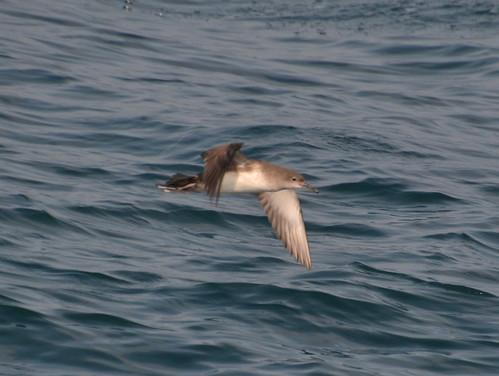 Balearic Shearwater (Puffinus mauretanicus)