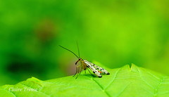 Mecoptera - Photo of Champier