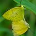 Mating Grass Yellow Butterflies