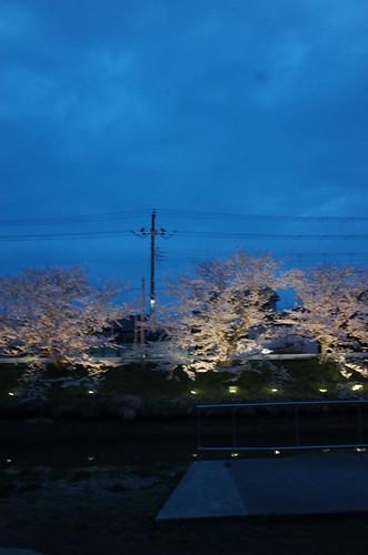 4_矢那川の夜桜_2